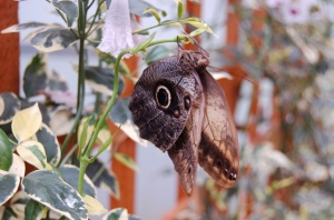 The rather frightening owl eye moth